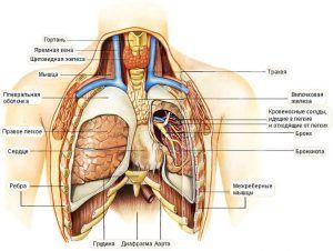 Расположение вилочковой железы