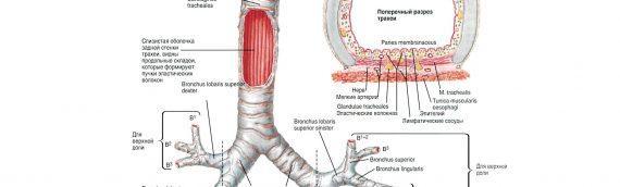 Опухоли трахеи. Симптомы и лечение рака трахеи