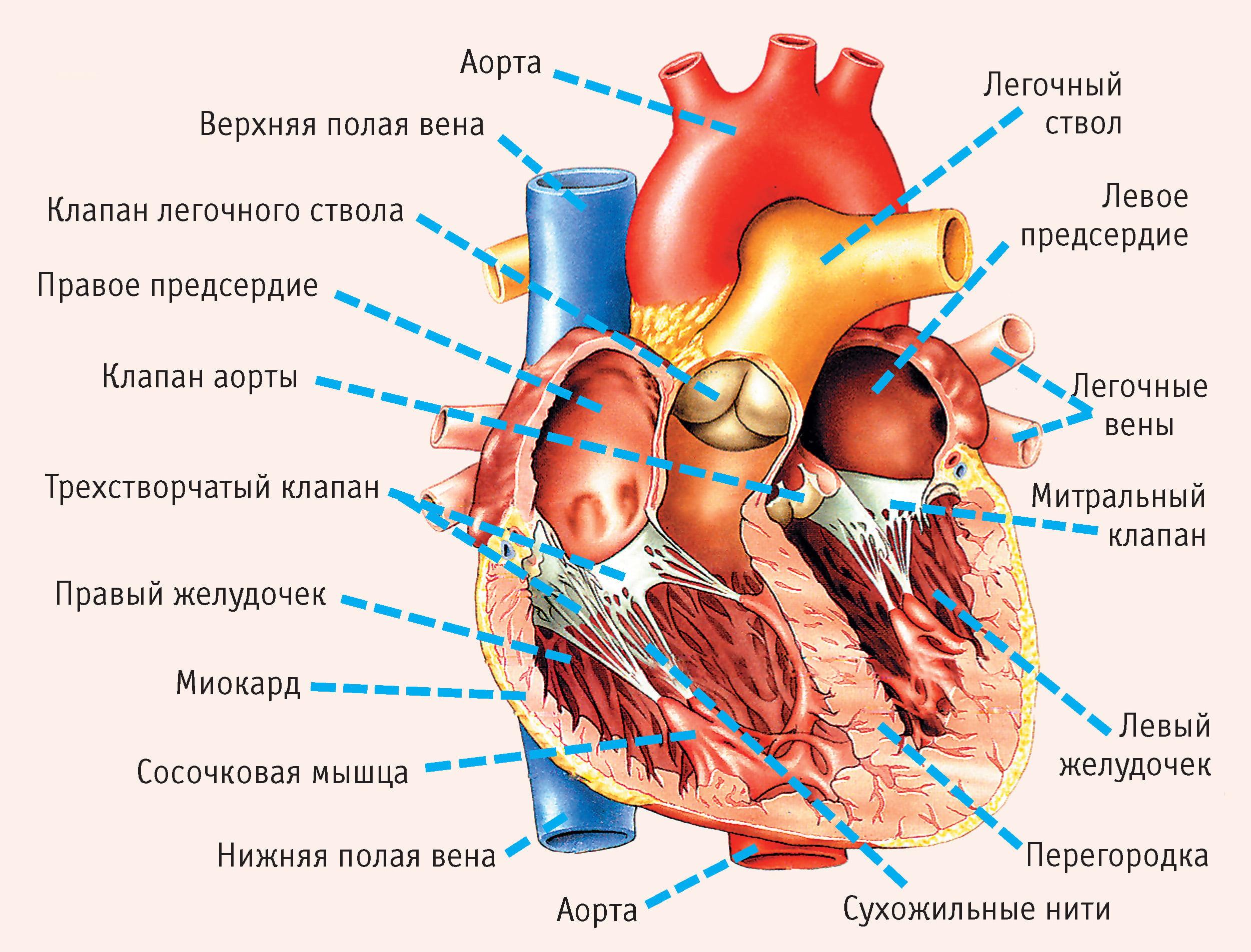 Рак сердца, плевры и средостения | Всё об онкологии